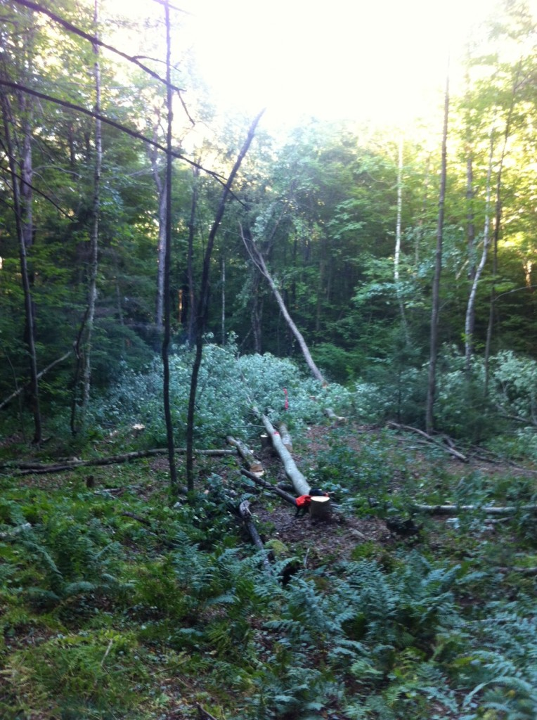 My first felled tree.